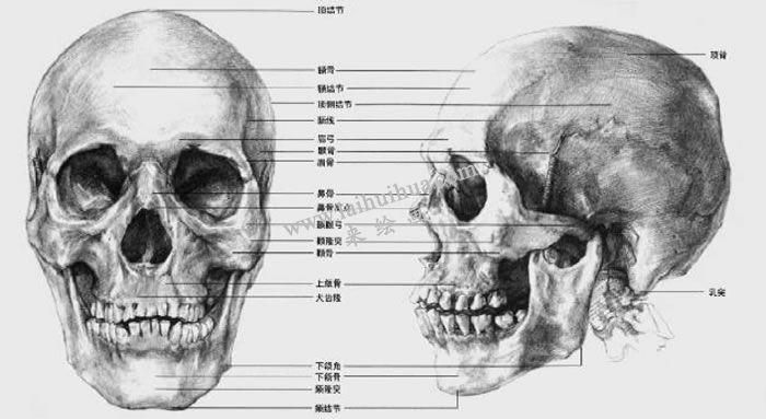 素描头部骨骼