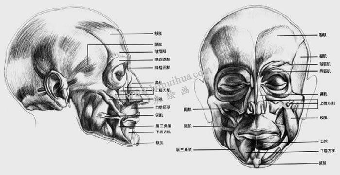 素描头部肌肉