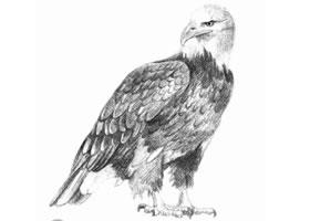 素描凶恶的老鹰画法步骤