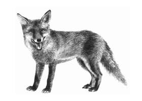 素描狐狸画法步骤