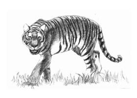 素描老虎的画法步骤