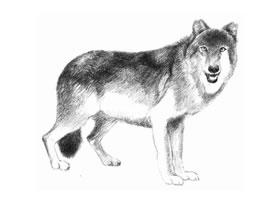 狼的素描画法步骤
