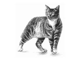 中国狸花猫素描画法