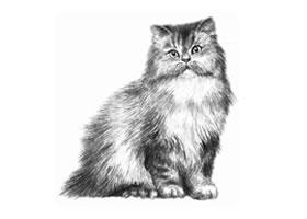 波斯猫的素描画法