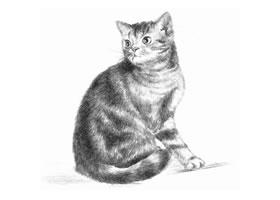 美国短尾猫素描画法