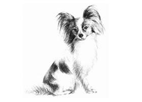 蝴蝶犬的素描画法