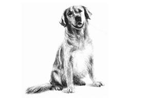 金毛犬的素描画法