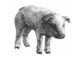猪的素描画法