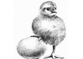 小鸡的素描画法