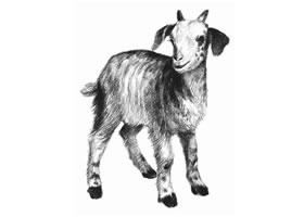 山羊的素描画法