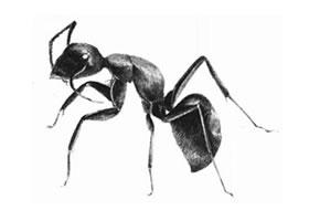 蚂蚁的素描画法