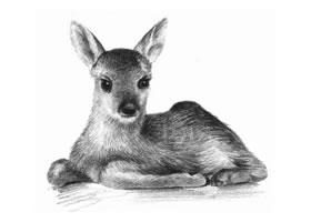 幼鹿的素描画法