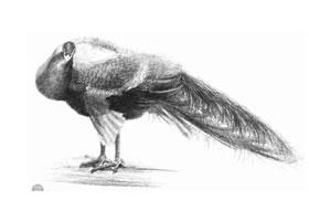 孔雀的素描画法