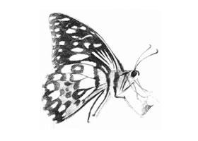 蝴蝶的素描画法