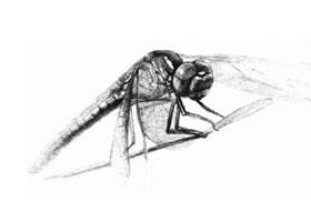 蜻蜓的素描画法