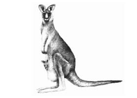 袋鼠的素描画法