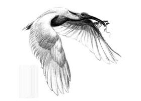 朱鹮素描画法