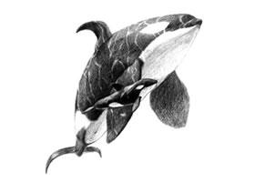虎鲸的素描画法