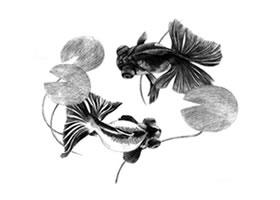 碟尾金鱼的素描画法