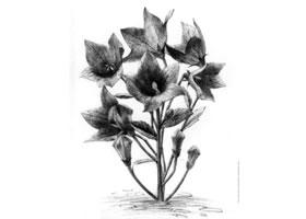 桔梗花的素描画法