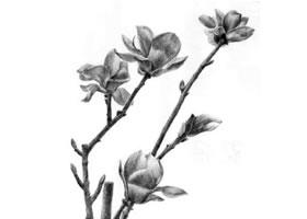 玉兰花素描画法