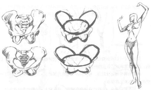 简化盆骨区的绘制01
