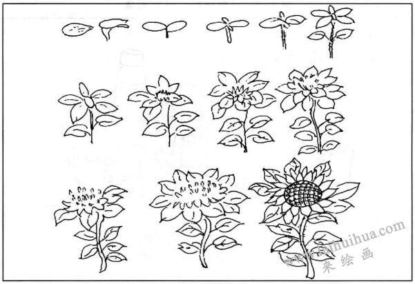 生物科学:向日葵的生长过程