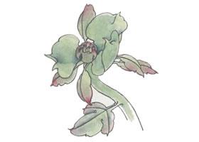 国画牡丹大萼、复萼、顶茎叶画法步骤
