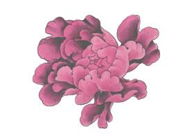 国画紫牡丹花画法