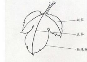 牡丹叶白描步骤