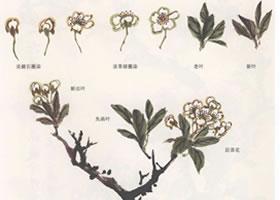 国画梨花的画法