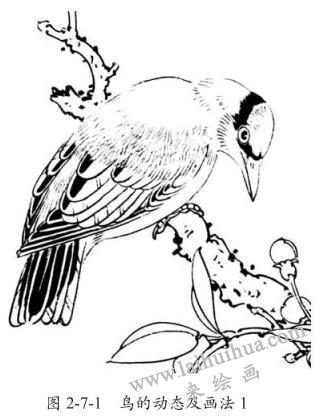 鸟的动态及画法,白描
