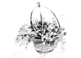 珍珠吊兰素描画法