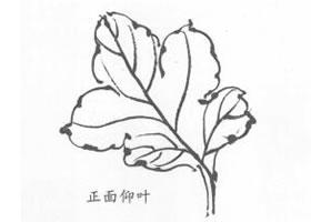 国画菊花叶子白描画法