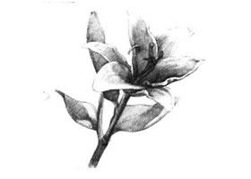 百合花素描画法