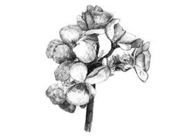 海棠花素描画法
