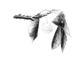 小樱桃枝素描画法