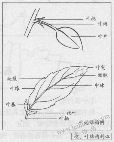 白描花卉的基本笔法:枝、叶结构剖证