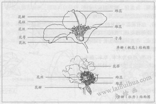 白描花卉的基本笔法:重瓣(牡丹)结构图