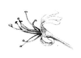 金银花花瓣素描画法
