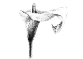 马蹄花花瓣素描画法