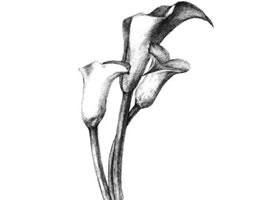马蹄莲花素描画法