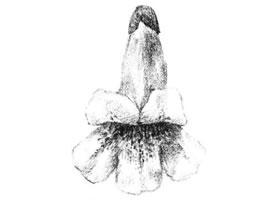 梧桐花瓣素描画法