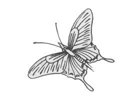 白描蝴蝶的画法步骤与技巧