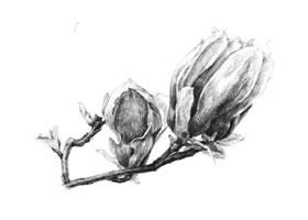 红玉兰素描画法