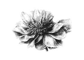 牡丹花素描画法