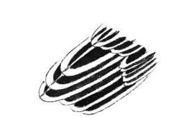 白描锦鸡羽毛画法图片
