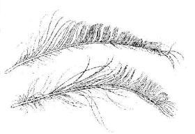 白描孔雀羽毛的画法