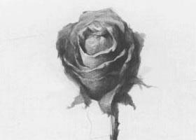 花卉的结构与作画步骤素描练习