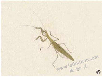 螳螂工笔画法步骤02